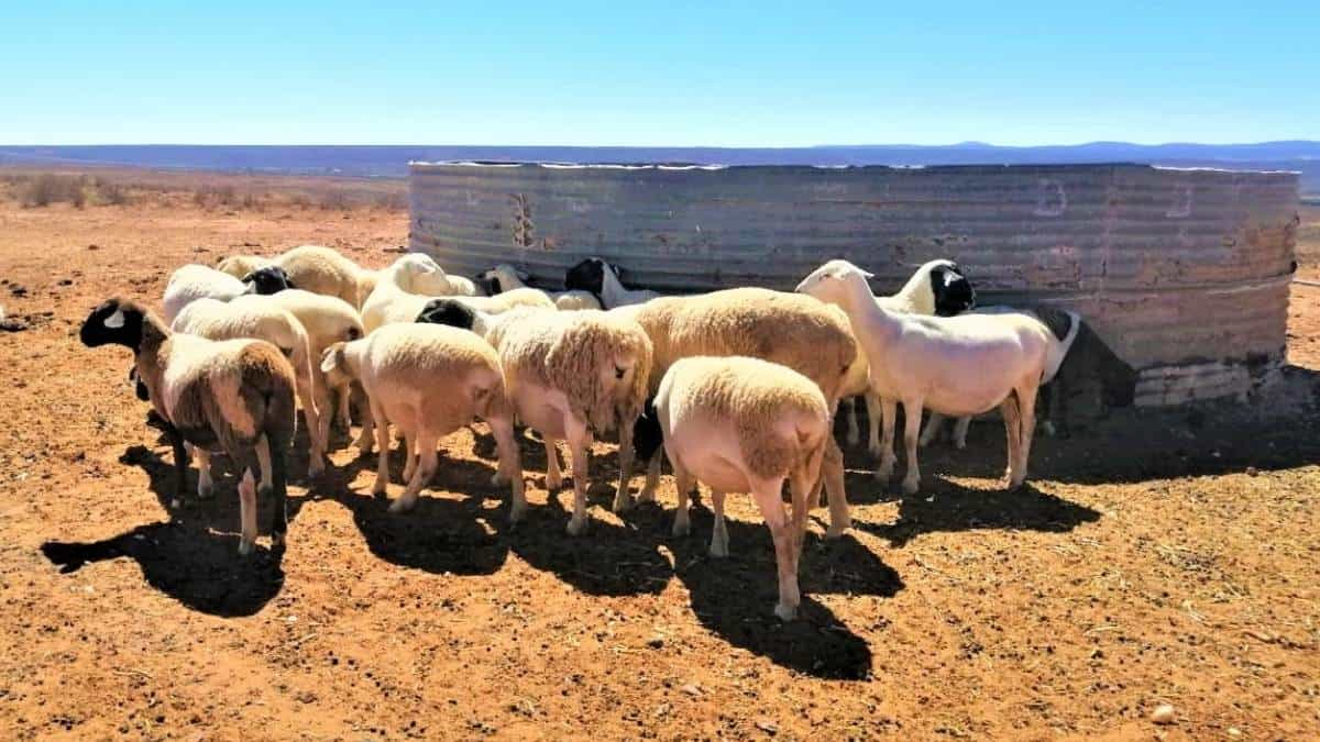 The Western Cape department of agriculture distributed fodder to extremely drought-stricken areas, including parts of the Central Karoo and Garden Route. Photo: Supplied/Food For Mzansi