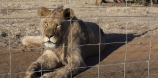 SA Hunters welcomed a high-level report which effectively brings an end to lion farming, captive lion hunting and cub-petting in South Africa. Photo: Supplied/Food For Mzansi
