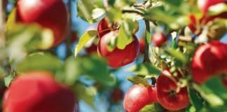 The Agricultural Research Council announced a partnership with the Deciduous Fruit Development Chamber. Photo: Supplied/Food For Mzansi