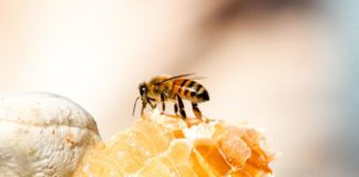 The United Nations has declared 20 May as World Bee Day. It acknowledges the role of bees and other pollinators for the ecosystem. Photo: Supplied/Food For Mzansi