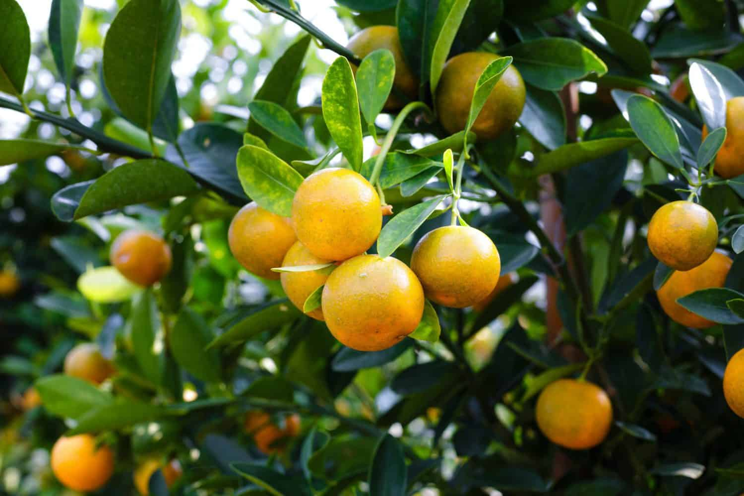 While local citrus exporters are gearing up to ship its first citrus consignments to the Philippines, the industry back home have predicted a lower export volume for 2021. Photo: Supplied/Food For Mzansi