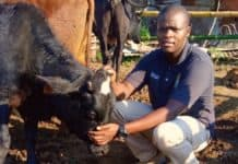 When feeding cattle in winter, communal farmer Thabo Cele uses a high-quality Voermol supplement to help fill the energy gap while helping his cows get the most out of existing forage. Photo: Supplied/Food For Mzansi