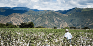 Cotton is a lucrative crop option if you want to get started in farming. But there are some things you need to know before you jump in. Photo: Supplied/Food For Mzansi