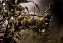 Olives are versatile little fruits. If you are wondering how to start farming with olives, look no further! Photo: Supplied/Food For Mzansi
