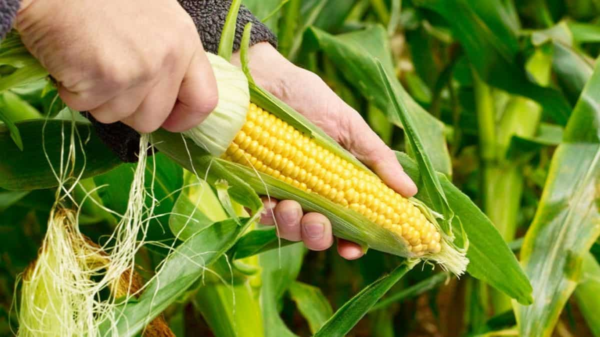 """German agriculture minister Julia Kloeckner has welcomed the possibility of looser restrictions on genetically engineered crops as an """"overdue modernisation"""" of EU policy. Photo: Supplied/Food For Mzansi"""