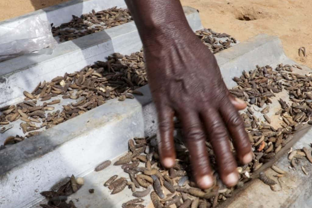 Dried maggots, 10kg of which are harvested every three days, are mixed with other components to make feed for broiler chickens. Photo: Kudzanai Musengi