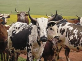 """Free State Agriculture is concerned that the stock theft unit is not doing all it can to prevent the """"economic sabotage"""" that it believes stems from the impact stealing livestock has on the province's agricultural sector. Photo: Supplied/Food For Mzansi"""