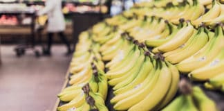 Local plant lab Du Roi Laboratory has gotten the commercialisation rights to the Formosana banana variety. It is moderately resistant to the deadly fungus that causes banana wilt. Photo: Supplied/Food For Mzansi