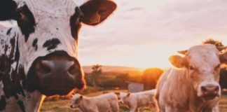 In a bid to contain the further spread of foot-and-mouth disease in KwaZulu-Natal, three districts have been declared as disease management areas. Photo: Supplied/Food For Mzansi