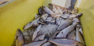 At 44.75 hectares in extent and 52 half-hectare earthen ponds, Zini Fish Farms is South Africa's largest pond-based aquaculture farm. Photo: Supplied/Zini Fish Farms