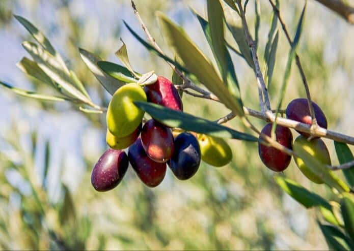There are many different olive tree cultivars available in South Africa, all with different yields and climate preferences.