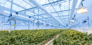 The Gauteng provincial government has incorporated plans to grow its cannabis economy in its Growing Gauteng Together 2030 strategy. Photo: Supplied/Food For Mzansi