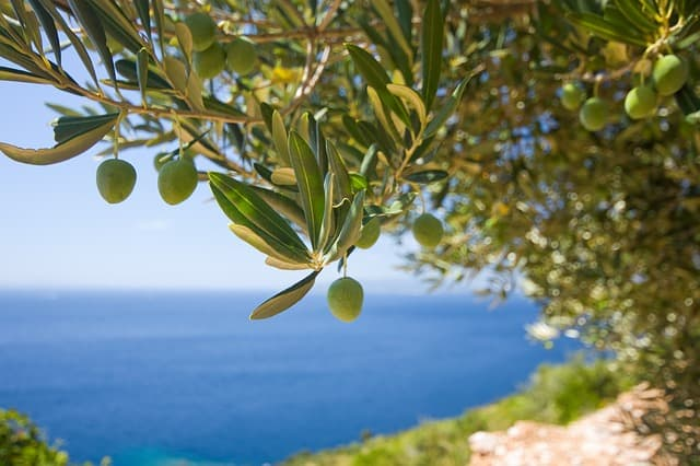 how to farm with olives