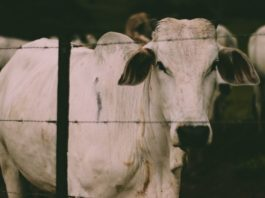 How to build cattle fencing