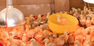 If you own a chicken farm, you have to know these basics on how to prepare your chicken coop for a new batch of chickens.
