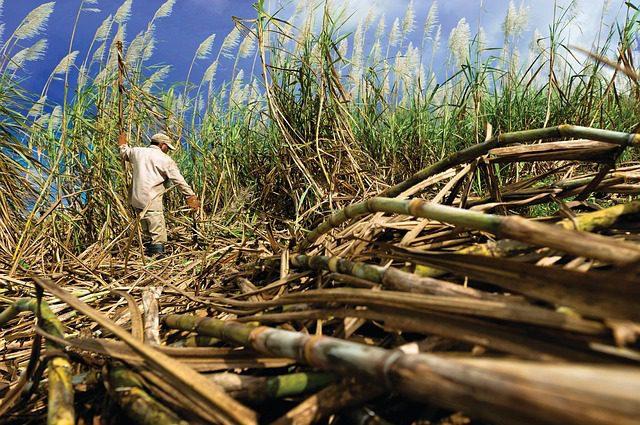 sugar cane farming