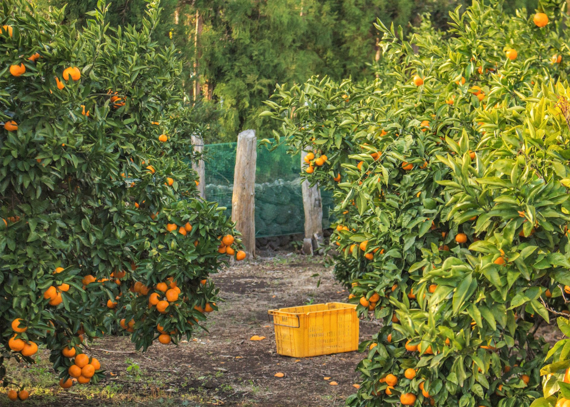 Plans are in place to meet market demands and to mitigate the devastating impact of the recent violence on the citrus industry and the country's economy as a whole. Photo: Supplied/Unsplash