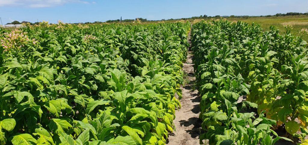 laluhle tobacco farm