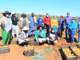 The Limpopo department of agriculture and rural development is on a mission to promote small-scale potato farmers in the province. Photo: Supplied/Brian Mashamba