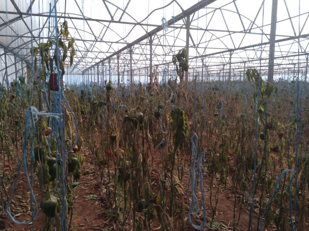 Eric Mauwane lost four hectares of chilies on his farm in Tarlton, northwest of Krugersdorp. Photo: Supplied/Food For Mzansi