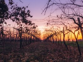 Climate changes are forcing wine farmers to make dramatic shifts in what they are planting in certain areas, says some of Mzansi's leading scientists. Photo: Supplied/Food For Mzansi