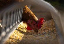chicken feed tips