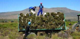 tea farm Farmworkers at Elandsfontein in Citrusdal harvesting Rooibos. Photo: Henk Kruger/African News Agency (ANA)
