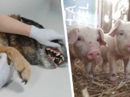 African swine fever and rabies outbreak in Cape Town.