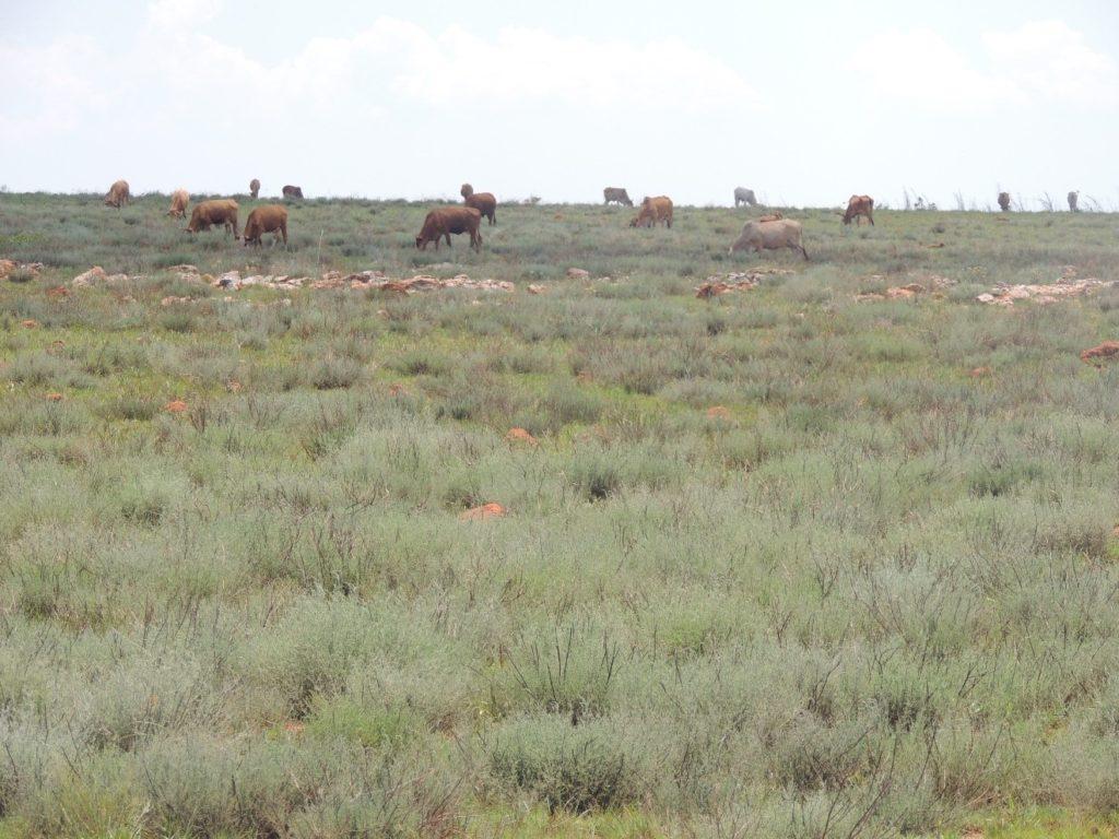 A growing encroachment problem: Grazing area taken over by Bankrupt bush