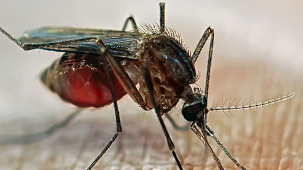 Rift Valley fever is transmitted by mosquitoes and blood feeding flies. Photo: Supplied/University of Surrey