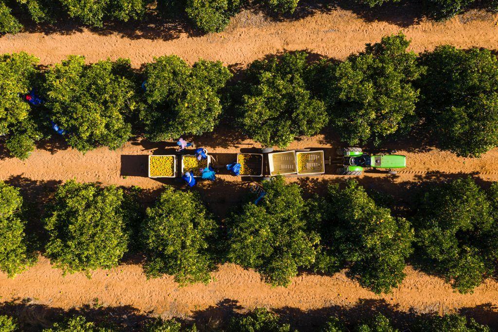 citrus farm harvesting season