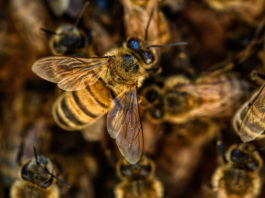 Bees: In South Africa a total of 1,069 beekeepers are registered, managing 60,351 colonies. Photo: Supplied/Food For Mzansi