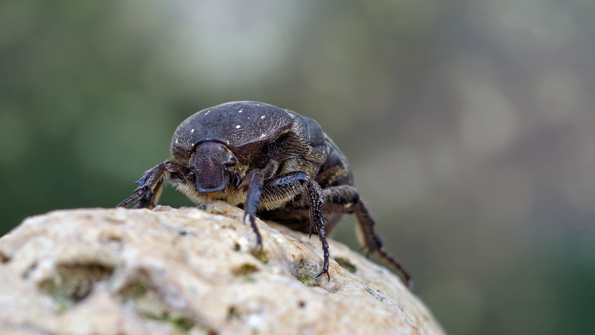 Dung beetles are creatures of the soil. There, they bury dung and recycle it by feeding on it, both as larvae and as adults. Photo: Supplied/Food For Mzansi