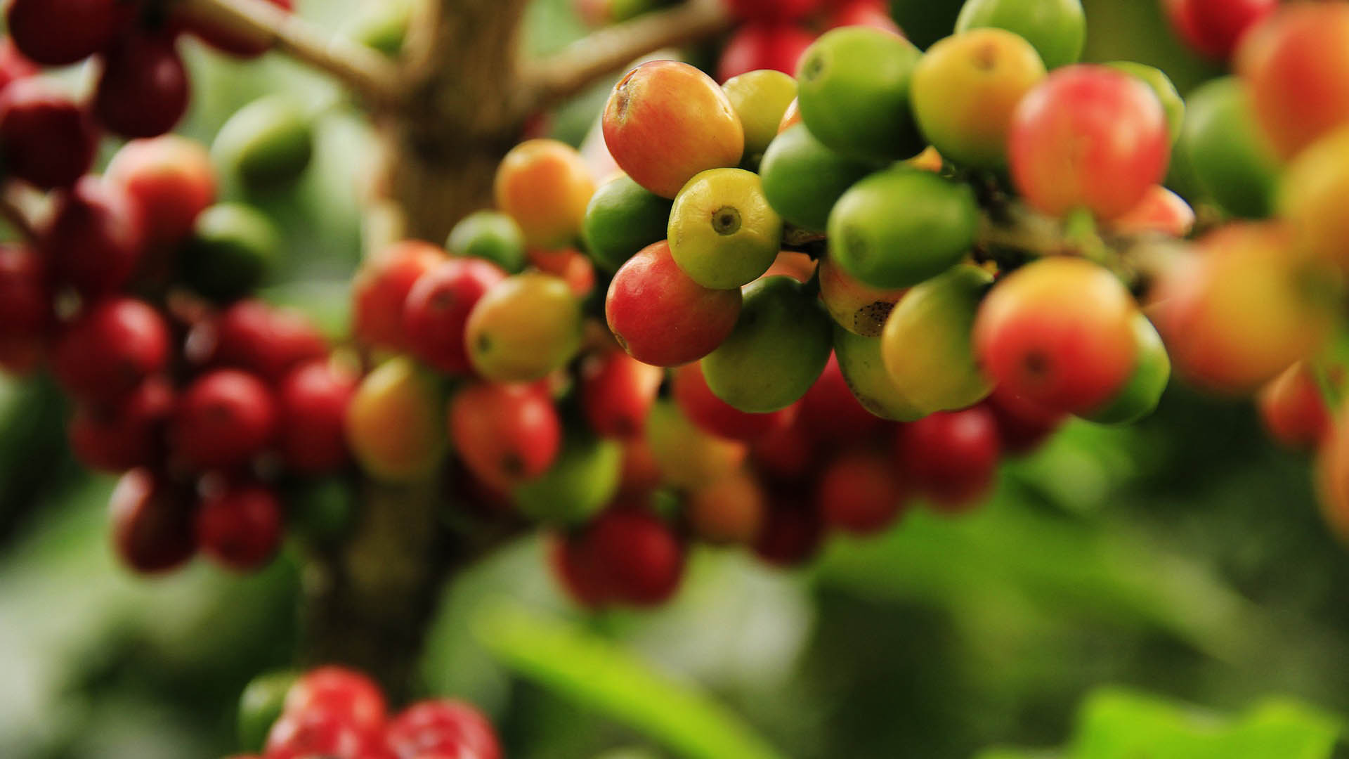 Brazil has been struck by frost, and as a result, numerous prime agricultural exports are suffering. This includes, coffee, corn and citrus. Photo: Supplied/Food For Mzansi
