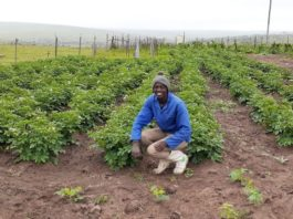 Simanye Sonkebe is a small scale farmer for Dutywa in the Eastern Cape with hopes of being a commercial farmer one day. Photo: Supplied/ Food For Mzansi
