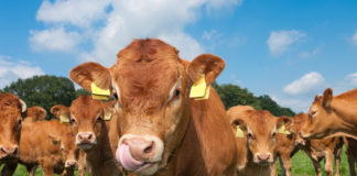 What ruminants are teaching scientists about waste.