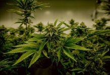indoor cannabis farming