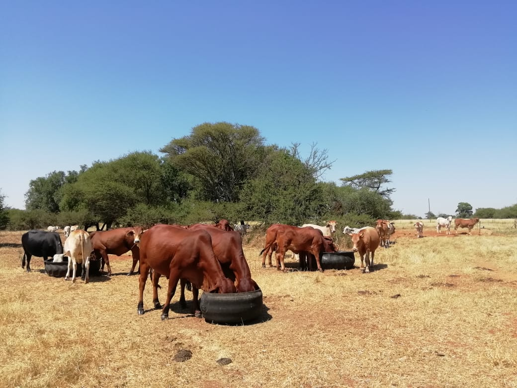 Maapola farms with over 200 animals. Photo: Supplied/Food for Mzansi