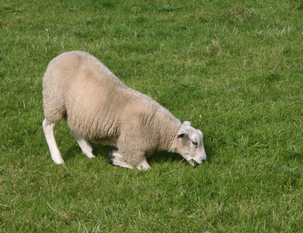 Sheep lameness: An Eastern Cape farmer, Thabo Msibi, tells Food For Mzansi that some of his sheep has recently been found limping. Photo: Supplied/Food For Mzansi