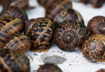 There are many different types of snails to farm with, all of which can be used in either the cosmetics or the food industry. Photo: Supplied/Food For Mzansi