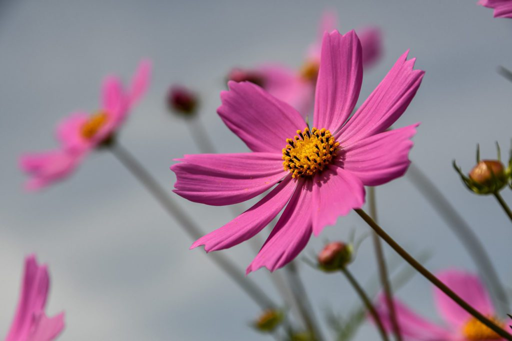 Cosmos are a sun-loving flower and add colour to your garden. Photo: Supplied/Food For Mzansi