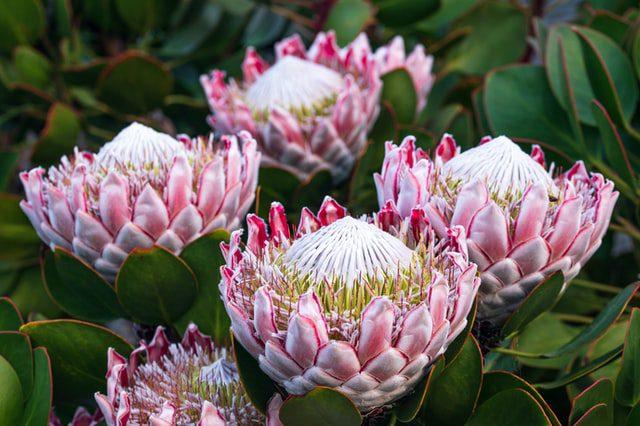 protea flower farming