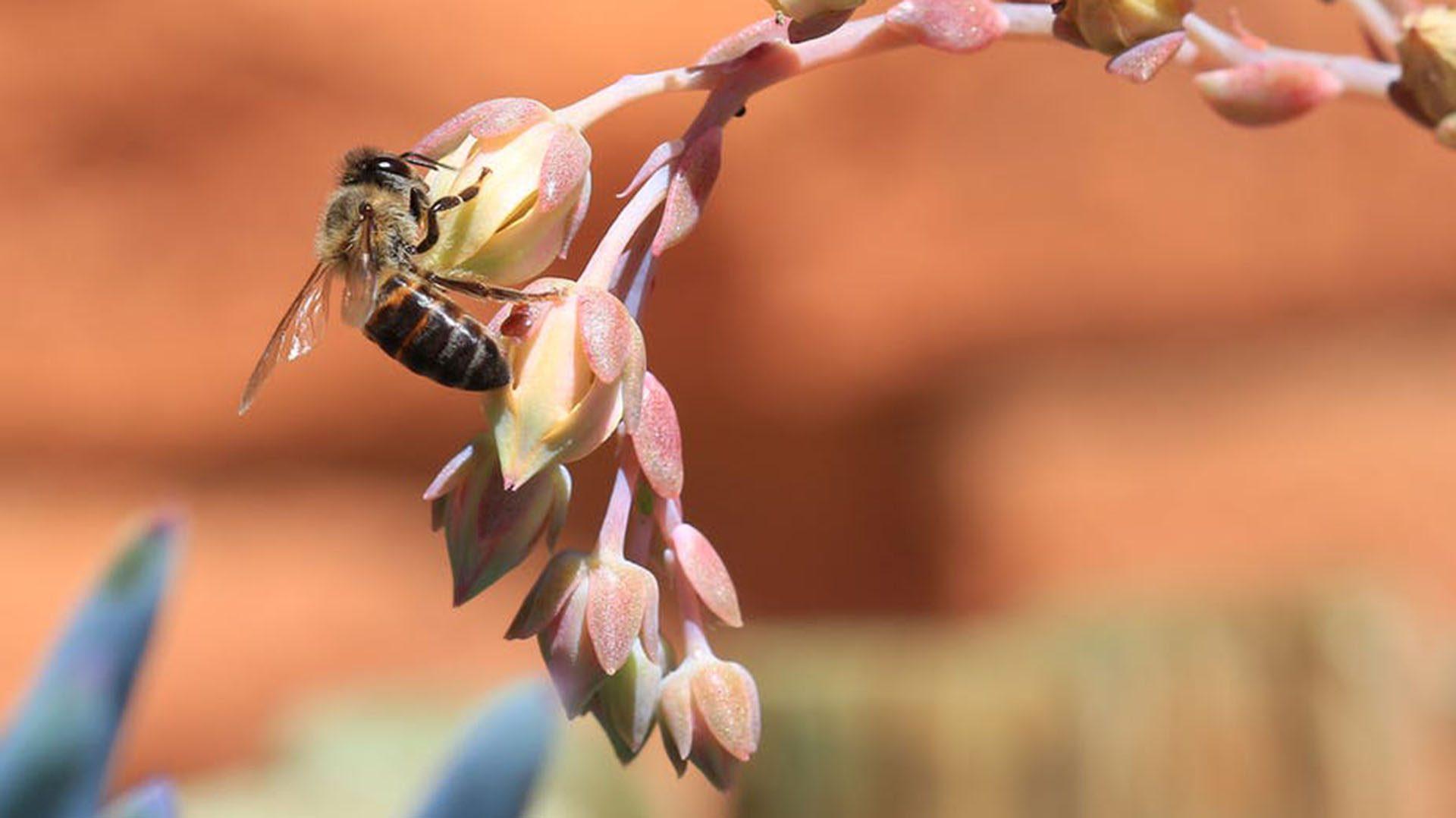 Cape Honeybee gathering pollen from a rock rose flower - South Africa. Photo: Shutterstock/The Conversation
