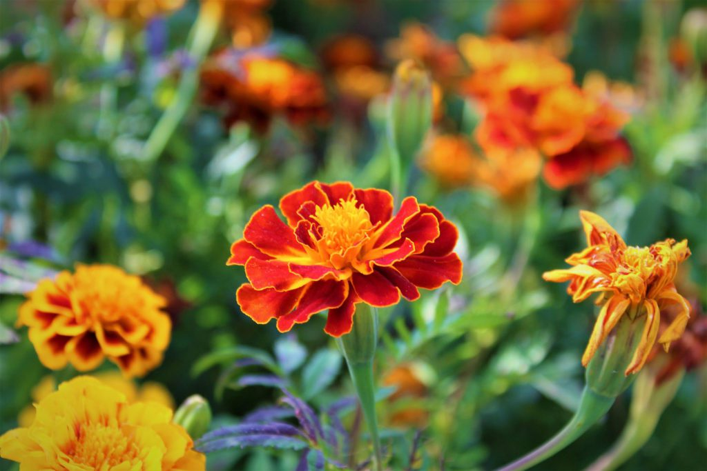 Marigolds are a hardy flower and require very little care. Photo: Supplied/Food For Mzansi