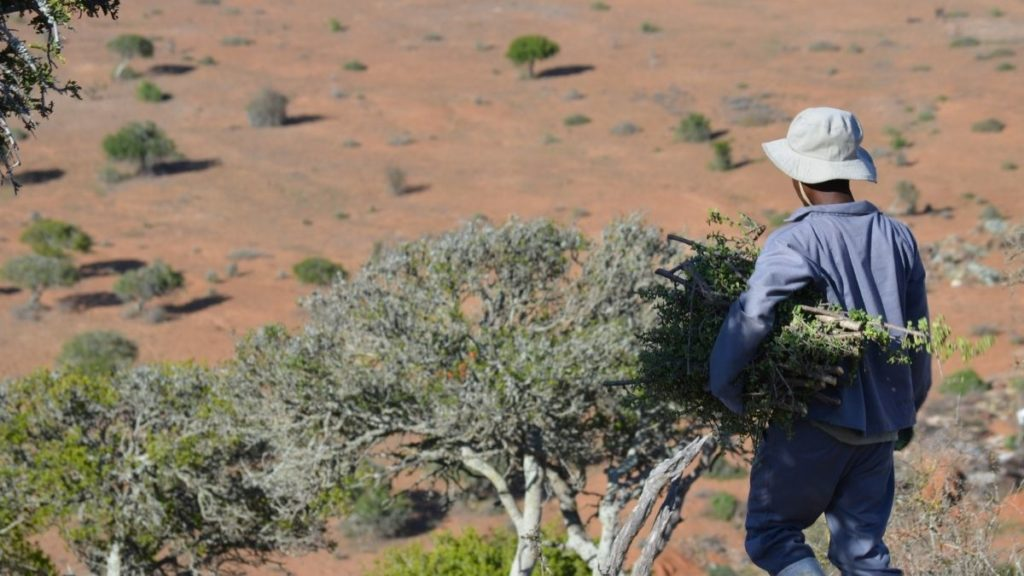 Ncedisa farmworkers aim to plant one million hectares of spekboom across the rough and rugged terrain of the Eastern Cape. Photo: Supplied/Food For Mzansi