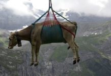 A Swiss cows being airlifted off mountain pastures ahead of an annual parade in Klausenpass. Photo: Supplied/Sky News