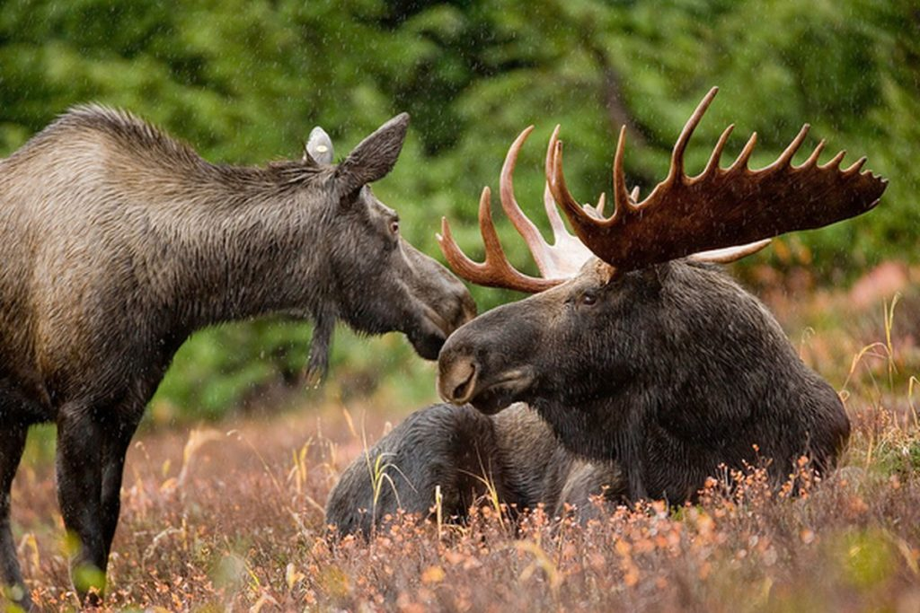 In Kostroma, Russia, happy moose live by the Volga River on a farm dedicated to the production of moose milk. Yep, you heard that right! Photo: Supplied/Food For Mzansi