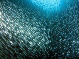 South Africa's massive sardine run.