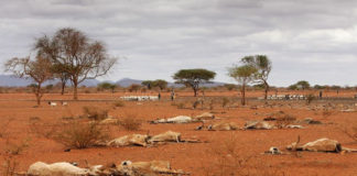 Tragedy in drought: Dead animal carcasses lie outside of the village of Dambas in Kenya during a drought in 2006. Photo: Chris Jackson/Getty Images