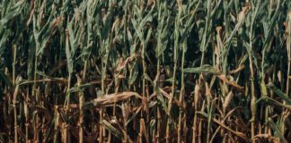 The once-prosperous sugar industry has deteriorated to such an extent in the past decade that it almost collapsed. Photo: Supplied/ Food For Mzansi